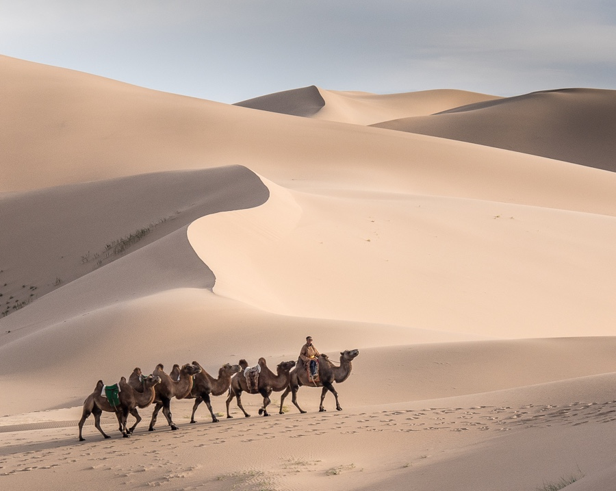 Bactrian Camels, Camelus bactrianus in Khongoryn Els, Mongolia's largest sand dune in the Gobi
